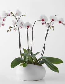 Bunga Anggrek 002