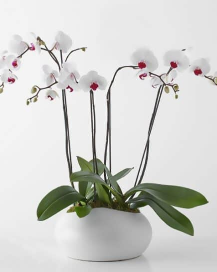 Tanaman - White Orchid in Vase